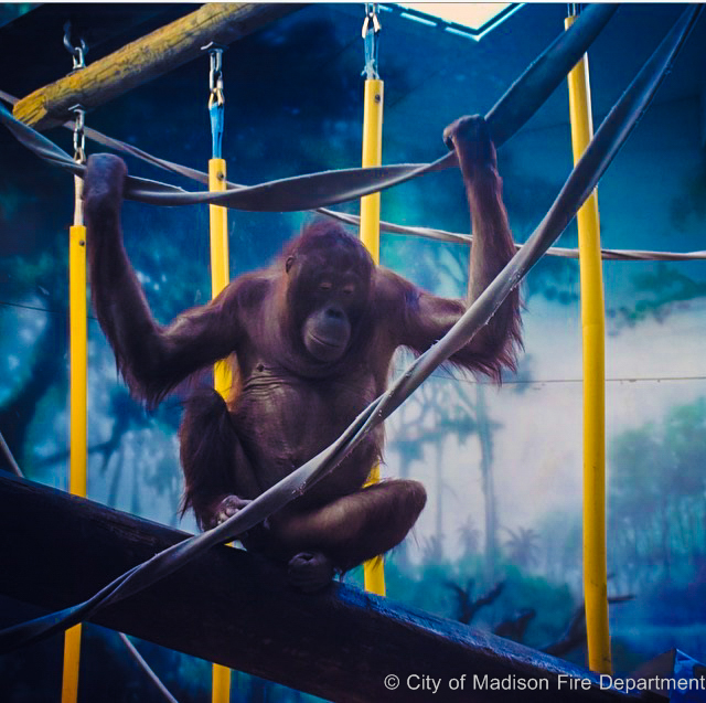 Orangutan hanging onto fire hose