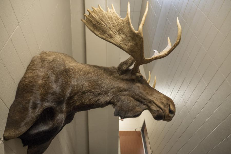 Station 1 Memorial Moose - This was a prized possession of Lt. K-Tal Johnson, who died in 2008. His family donated it to the department in his memory