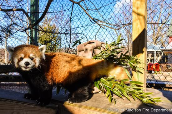 Tarrei the red panda
