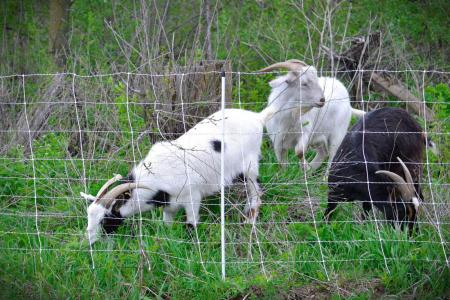 Goats grazing on invasive species.