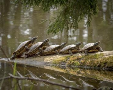 turtles, Photo credit: Warren Myers and PhotoMidwest