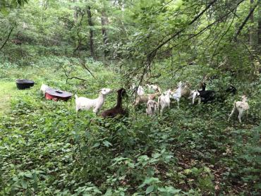 The heard of recently weaned baby goats and moms graze their way through Robin Parkway Greenway