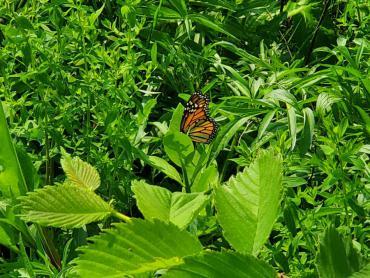 Monarch on a milkweed plant