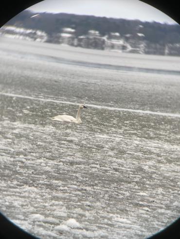Tundra swan as seen through parascope