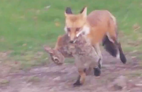 Fox spotted at well faciity